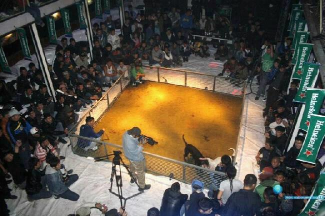 Mongolian Dog Fighting Ring