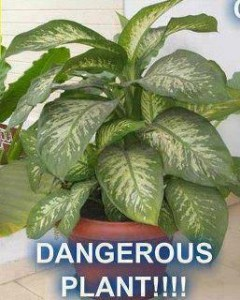 Is the Dumb Cane (Dieffenbachia) a Deadly Houseplant?