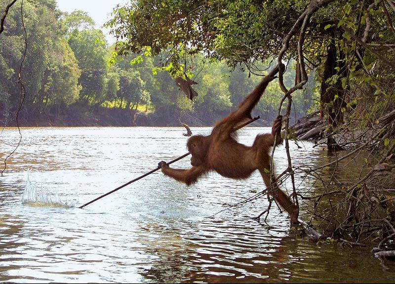 Orangutan fishing with spear