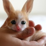 Fennec Hare: Real or Fake?