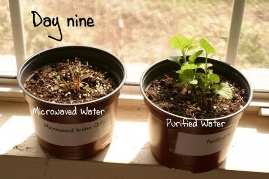 Does Microwaved Water Kill Plants?