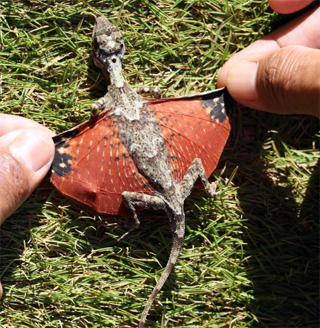 New Dragon Species Discovered in Indonesia?