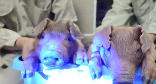 Scientists Show Off Glowing Pigs