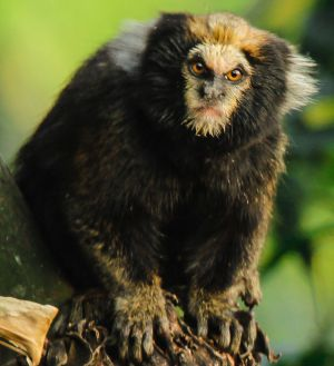 "This is what the ""baby alien"" looked like when it was alive... a Buffy Tufted Marmoset."