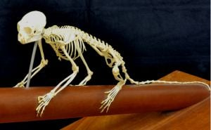 This is a skeleton of a marmoset monkey.