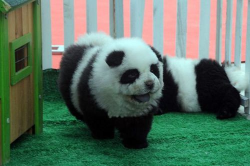 Grooming dogs like pandas in China