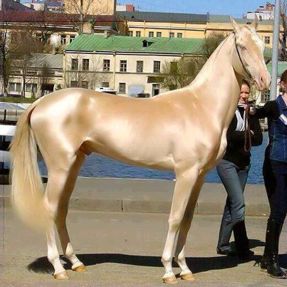 beautiful golden horse