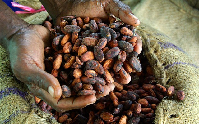 Hands holding dried cocoa beans