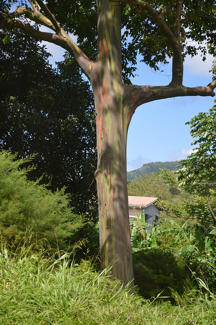 rainbow tree in Grenada