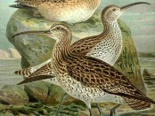 Illustration of Slender-billed Curlews