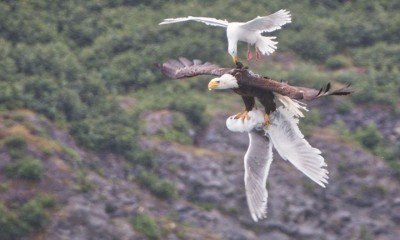 seagulls vs eagle