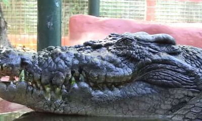 cassius alligator