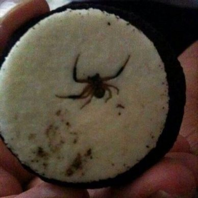 Spider crushed inside Oreo cookie