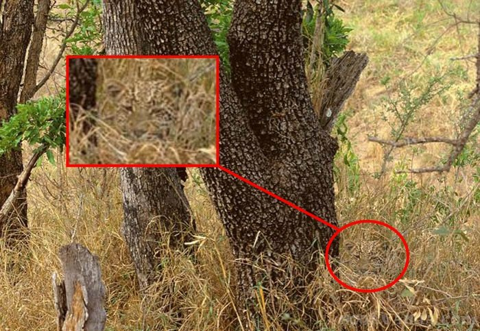 find the cheetah solved